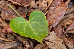 Heart shape leaf. A green heart shape leaf drop in the bunch of dead leaves Stock Photography