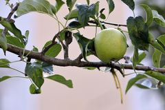 Green heart shaped apple hanging on the branch. A green heart shaped apple hanging on the branch Stock Images