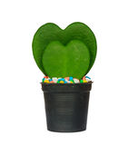 Green heart shaped cactus at pot Stock Image