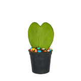 Green heart shaped cactus at pot Royalty Free Stock Images