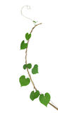 Green heart shaped leaf climbing plant on dried twig isolated on Royalty Free Stock Images