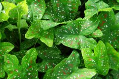 Green Heart Shaped Leaf Plant Royalty Free Stock Images