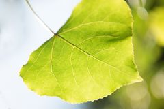 Green heart-shaped leaf of a tree close-up. On a skylight Royalty Free Stock Photography