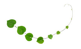 Green heart shaped leaves climbing plant isolated on white backg. Round Stock Photo