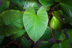 Green heart-shaped leaves. Green heart shaped leaves, close up Royalty Free Stock Image