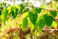 Heart-shaped leaves on tree Stock Images