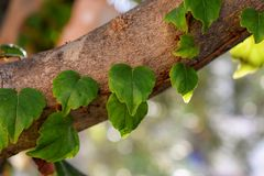 Green heart shaped leaves at the tree. Whit bokeh background Royalty Free Stock Photo