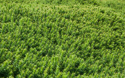 Green Heather Bush Background Stock Photos