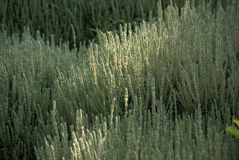 Green heather in evening Stock Photos