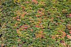 Green hedera helix in autmn colors Royalty Free Stock Images