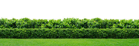 Green hedge. Two layers of green hedge on white background royalty free stock image