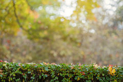 Green hedge with autumn leaves and background Royalty Free Stock Photo