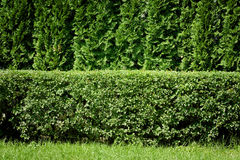 Green hedge background Stock Images