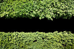 Green hedge background with central black copy space Stock Image