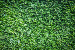 Green hedge background Royalty Free Stock Photo