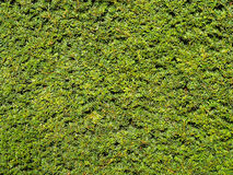 Green Hedge Background Royalty Free Stock Image