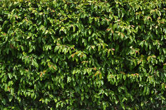 Green Hedge Background Stock Image