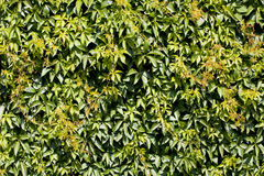 Green Hedge Backgrounds or Wallpaper. Royalty Free Stock Photo