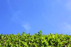 Green hedge and blue sky background Stock Photo