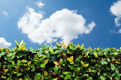 Green hedge with blue sky and white clouds. Backgroud stock photo