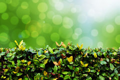 Green hedge with bokeh background. Natural Royalty Free Stock Photos