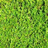 Green hedge bush Stock Photography