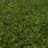 Green hedge. Green bushes manicured into a perfect hedge Royalty Free Stock Photo