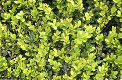 Green hedge close up texture Royalty Free Stock Photos
