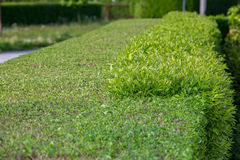 Green hedge stock photography