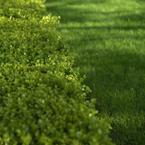 Green hedge closeup Stock Image
