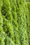 Green hedge closeup Stock Photography