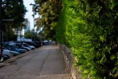 Green hedge fence, that grow around the house use it as a fence between the house and public road, a dense of green leaves from th. Green hedge fence and public Royalty Free Stock Image