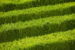 Green hedge flowerbed Royalty Free Stock Images