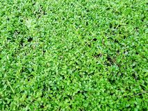 Green hedge foliage, leaves background. Green hedge foliage leaves background nature bushes hedges plant thick trimmed backdrop outdoors stock photography