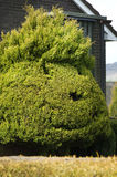 Green hedge formed in the shape of the head in English garden. M Stock Image