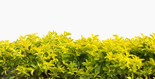 Green hedge or green bush isolated. On white background Royalty Free Stock Photo