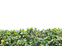 Green hedge or Green Leaves Wall Royalty Free Stock Photography