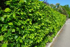 Green hedge with hornbeam plants in spring. Nearby a sidewalk Stock Images