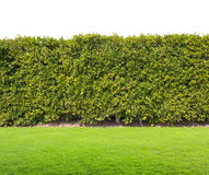 Green hedge isolated Stock Photos
