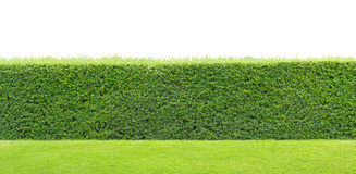 Green hedge isolated. Green hedge or Green Leaves Wall isolated Stock Photos