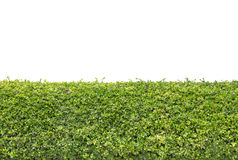 Green hedge isolated Royalty Free Stock Photography