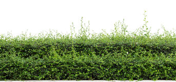 Green hedge isolated Stock Image