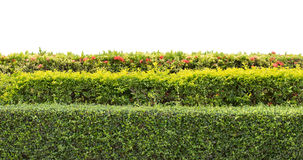 Green hedge isolated Stock Photo