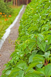 Green hedge of ivy Royalty Free Stock Image