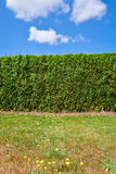 Green hedge with lawn in front on blue sky background. Green hedge with lawn in front on blue sky with clouds background Royalty Free Stock Image