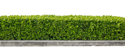 Green hedge. Or Green Leaves Wall on Stock Photography