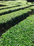 Green hedge in a maze shape. Park with a green hedge in a maze shape Royalty Free Stock Photos