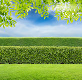 Green hedge. Hedge with sky and Green leaves Royalty Free Stock Photography