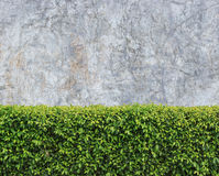 Green hedge. On stone wall background Royalty Free Stock Image