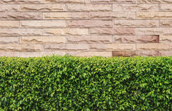 Green hedge. On stone wall background Stock Photo